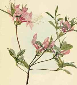 The wild azalea, or pinkster